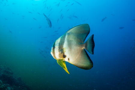 Large Batfish on a tropical coral reef