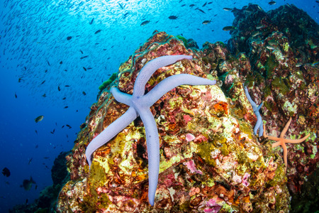 Colorful Starfish and tropical fish on a coral reef