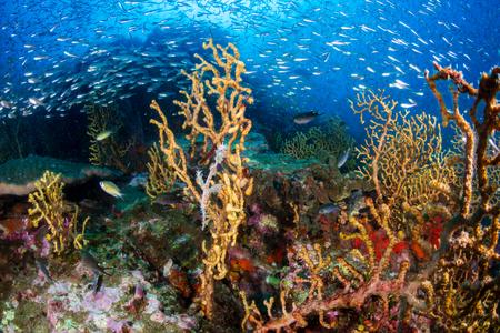Beau syngnathe fantôme orné sur un récif de corail tropical Banque d'images
