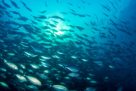 A large school of predatory Jacks in a blue ocean above a tropical coral reef