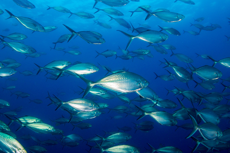 Schooling Trevally and Jacks in the ocean above Richelieu Rock, Thailand