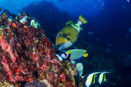 Grandi pesci balestra del titano che si alimentano su una barriera corallina tropicale