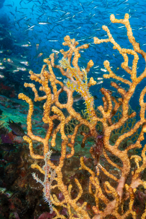 Delicate and beautiful Ornate Ghost Pipefish on a tropical coral reef (Richelieu Rock, Thailand) Standard-Bild