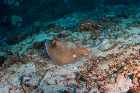 Kuhl's Stingray on a coral reef