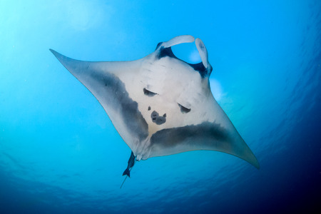 Ein wunderschöner ozeanischer Mantarochen in einem blauen tropischen Ozean