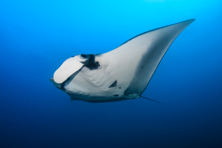 A huge Oceanic Manta Ray (Manta Birostris) at Black Rock in the Mergui Archipelago, Myanmar