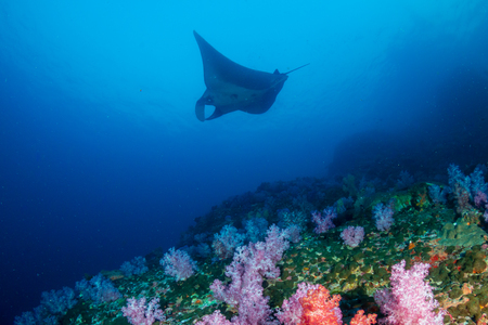 A majestic Oceanic Manta Ray swimming over colorful soft corals on a tropical reef Reklamní fotografie