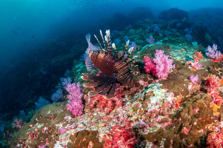 Lionfish on a colorful tropical coral reef in Burma