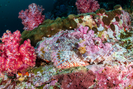 A Scorpionfish hidden amongst colorful soft corals on a tropical coral reef (Black Rock, Myanmar)