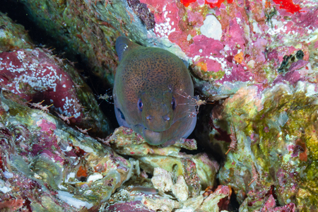 Giant Moray Eel and cleaner shrimp in a hole on a tropical coral reef in Myanmar