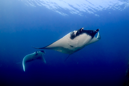 A pair of huge Oceanic Manta Rays in a blue water tropical ocean