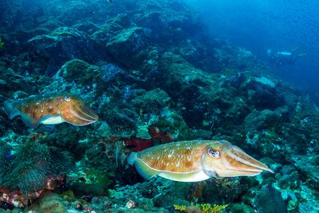 Una coppia di seppie su una torbida barriera corallina scura (Black Rock, Arcipelago Mergui, Myanmar)