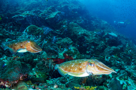 Une paire de seiches sur un récif de corail sombre et sombre (Black Rock, archipel de Mergui, Myanmar)