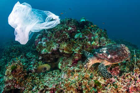 Plastic Pollution - a plastic bag drifting next to a feeding Hawksbill Sea Turtle on a tropical coral reef in Asia Reklamní fotografie
