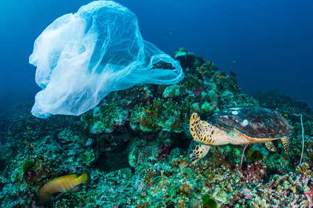 Plastic Pollution - a Hawksbill Sea Turtle feeding on a coral reef next to a discarded plastic bag Banque d'images