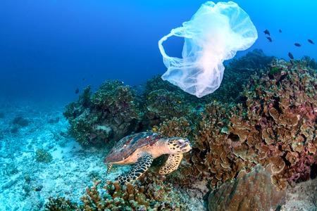 Karettschildkröte frisst an einem Korallenriff, während eine weggeworfene Plastiktüte vorbeizieht