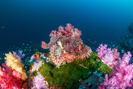 Scorpionfish escondido entre corales blandos de hermosos colores en un arrecife tropical (Archipiélago de Mergui, Myanmar)