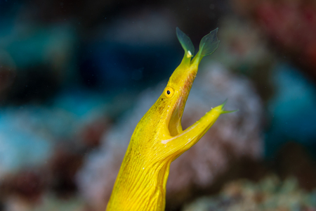 Colorful Yellow Ribbon Eel on a tropical coral reef 写真素材