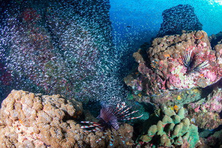 Lionfish and glassfish on a tropical coral reef in Burma