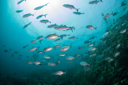 A school of Jacks in a murky, tropical ocean