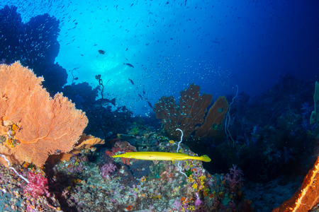 Yellow Cornetfish and seafans on a colorful coral reef 免版税图像