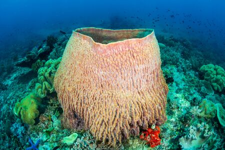 Large, colorful Barrel Sponges underwater on a tropical coral reef in the Philippines