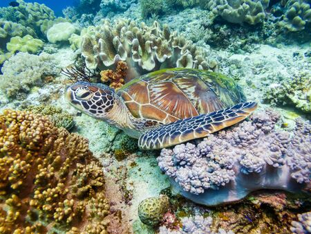 A Green Sea Turtle resting on a coral reef in Bohol, Philippines
