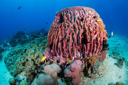 Huge sponges and tropical fish on a coral reef in the Philippines
