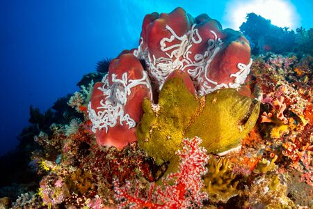A Giant Frogfish next to a large red sponge on a colorful tropical coral reef