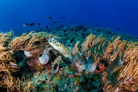 A Green Sea Turtle (Chelonia mydas) on a colorful tropical coral reef Reklamní fotografie