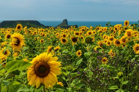 Field of sunflowers with the coastal cliffs of Worm's Head visible background (Rhossili, Wales)