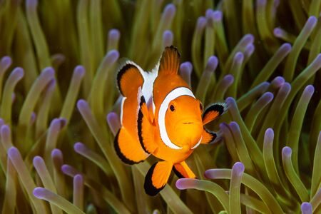 Cute Common Clownfish in the Tentacles of its Host Anemone on a Tropical Coral Reef