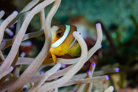 Banded Clownfish in their host anemone on a tropical coral reef in Asia Imagens