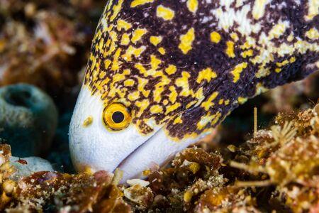 Snowflake Moray Eel Feeding on a Tropical Coral Reef