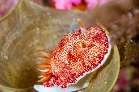 Large, Colorful Nudibranch Inside a Hard Coral on a Tropical Reef