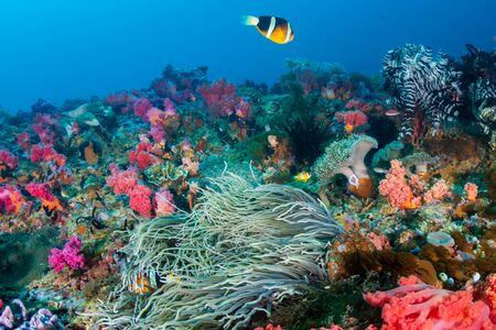Banded Clownfish on a colorful tropical coral reef Imagens