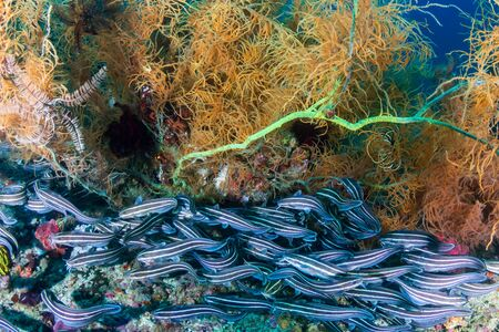 School of Striped Eel Catfish on a Tropical Coral Reef in the Philippines