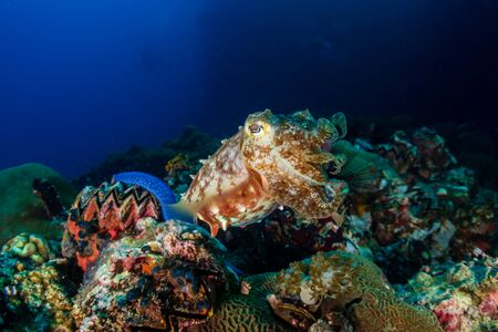A curious Broadclub Cuttlefish (sepia latimanus) on a tropical coral reef Imagens