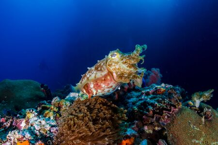A curious Broadclub Cuttlefish (sepia latimanus) on a tropical coral reef