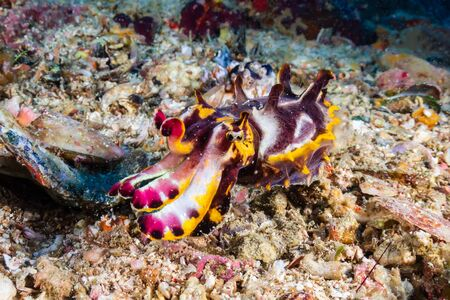 Beautiful Flamboyant Cuttlefish on the sea floor at Gato Island in the Philippines Imagens