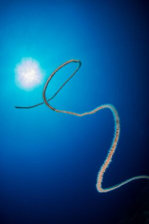 Beautiful underwater Whip Coral with a sunburst behind
