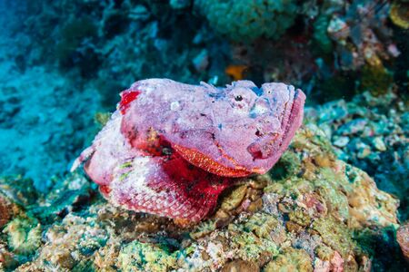Scorpionfish on a coral reef in the Philippines Reklamní fotografie