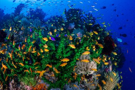 Colorful tropical fish on a coral reef in Bohol, Philippines