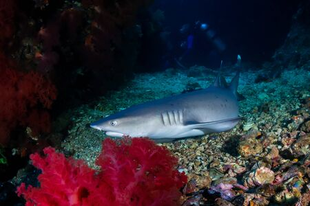 White Tip Reef Shark with Background SCUBA Divers on a Coral Reef (Gato Island) Reklamní fotografie