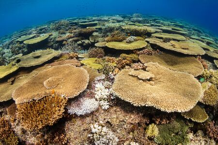Huge table corals (Acropora) and other hard corals on a shallow water coral reef in Asia