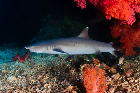 White Tip Reef Shark in a Small Coral Cave on a Tropical Reef Reklamní fotografie