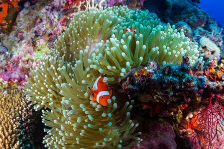 A family of cute Clownfish on a tropical coral reef in the Philippines