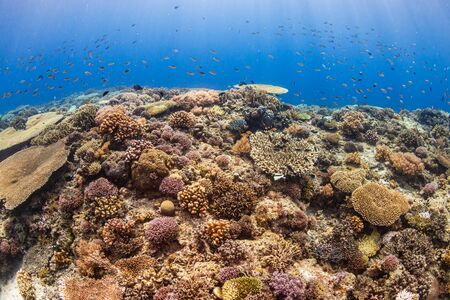 A beautiful, healthy shallow water tropical coral reef