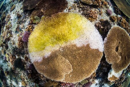 A large Table Coral (Acropora sp.) in the process of bleaching due to global warming and climate change Reklamní fotografie - 129539965
