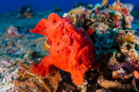 Brightly Colored Painted Frogfish (antennarius pictus) on a Tropical Coral Reef (Gato Island) Reklamní fotografie - 129539644